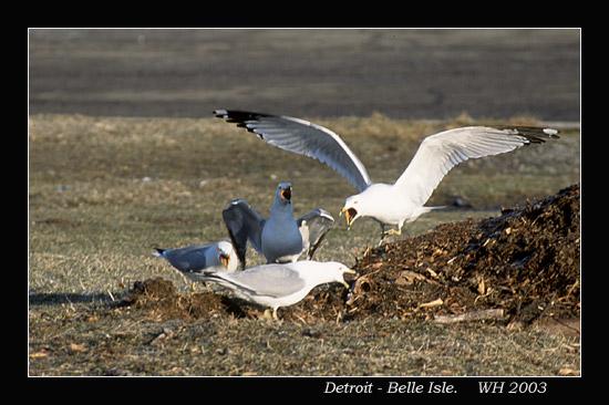 belle_seagull0.jpg